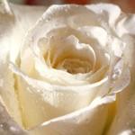 Бяла роза с роса