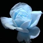 Бледосиня роза