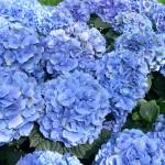 Синя хортензия