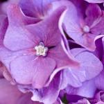 Виолетова хортензия