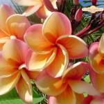 Индийско цвете