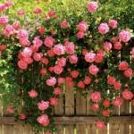 Ограда от рози