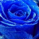 Синя роза