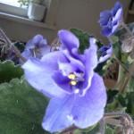 Виолетова теменужка